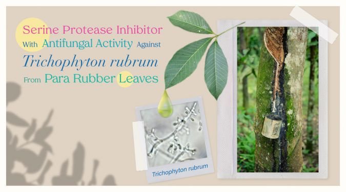 Serine protease inhibitor with antifungal activity against Trichophyton rubrum from Para rubber leaves