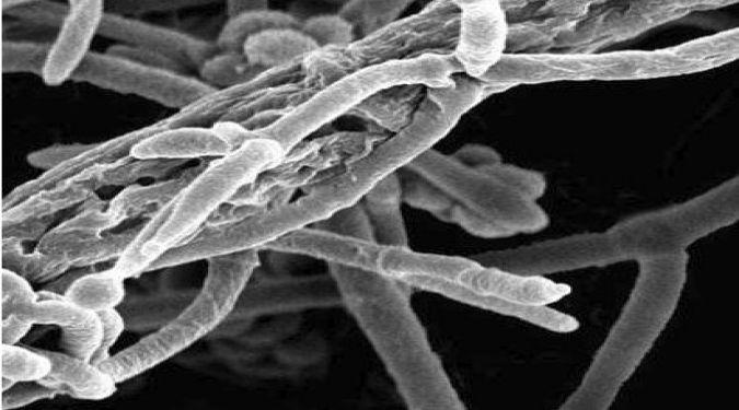 Trichoderma asperellum bio-innovation NST-009
