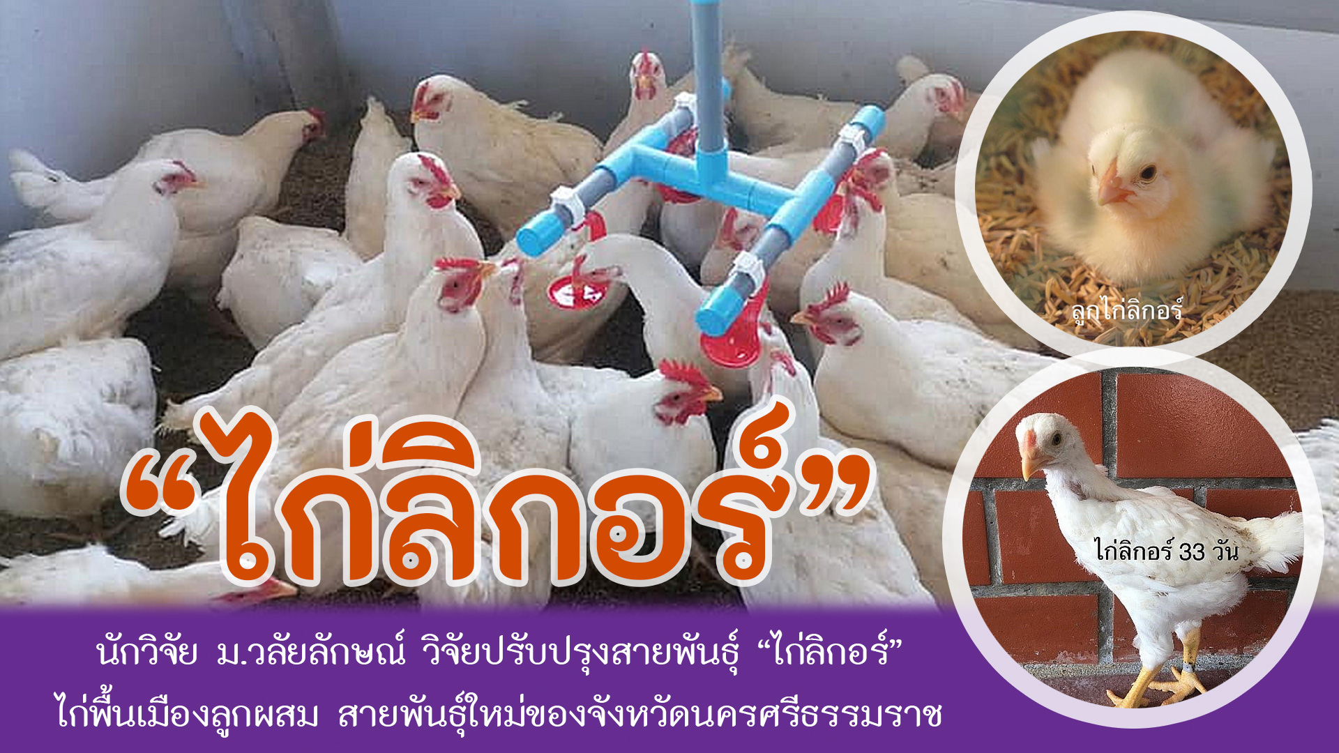 WU researchers improve chicken breed called Ligor Chicken, a hybrid native chicken and a new breed of Nakhon Si Thammarat province.
